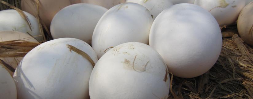 egg terms