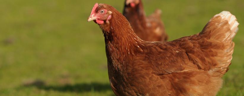 hen housing egg production