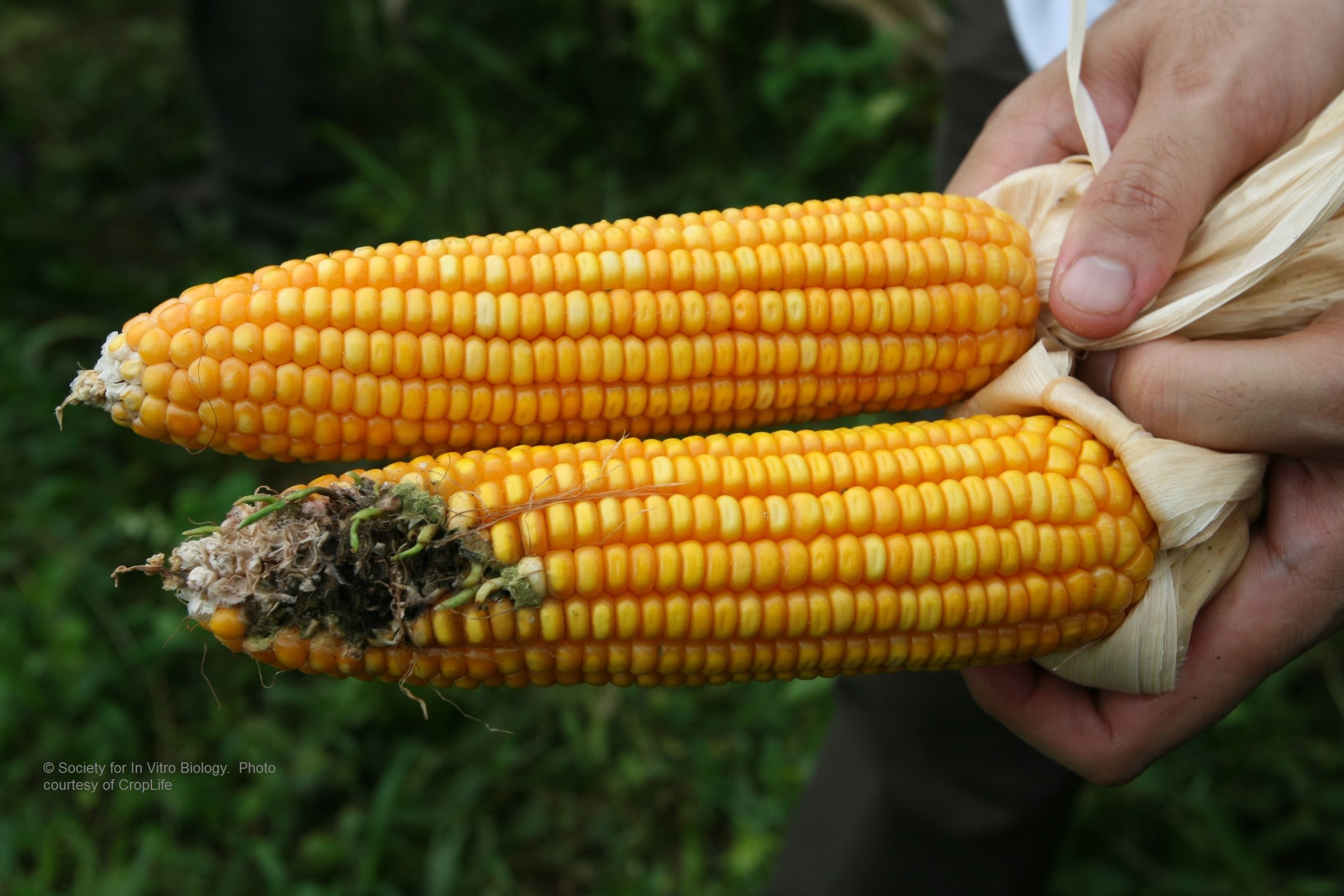 Ears of Corn: The top is GMO (Bt transgenic), and the bottom is non-GMO. The Asian corn borer has caused damage to the ear, resulting in fungal growth (mold) and sprouting. These varieties were grown in the Philippines.