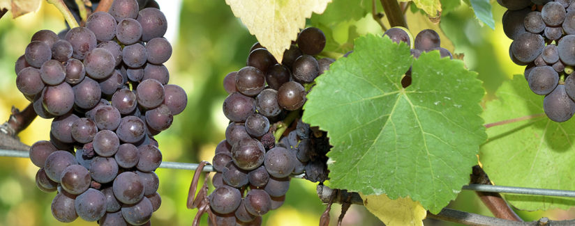 Best-Food-Facts-Viticulture-Wine