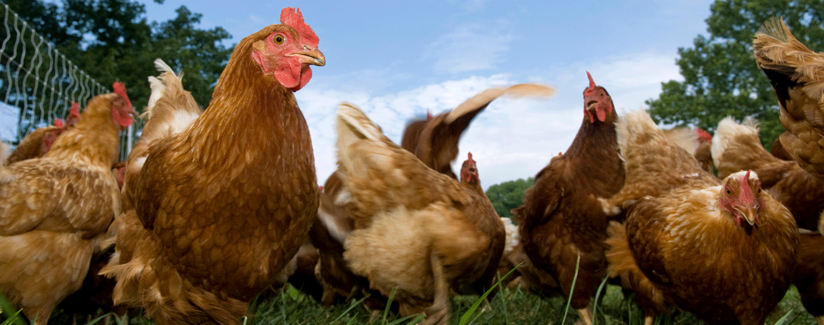Best-Food-Facts-Farm-Raised-Chickens