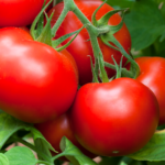 Health and How-Tos of Homegrown Tomatoes