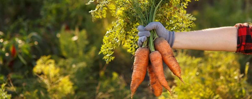 hand holding carrots pulled from soil