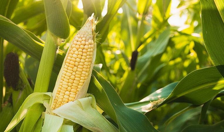 best-food-facts-hero-image-corn-cob