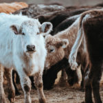 Are Cows Bad for the Environment?