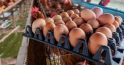 best-food-facts-cage-free-eggs